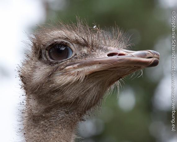"""image-26052: ostrich farm """"Syrjynen"""""""